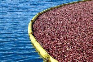Plastic containment booms, similar to those used to contain oil spills are used in the wet-harvest of cranberries.