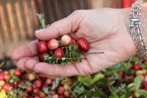 cranberries-dry